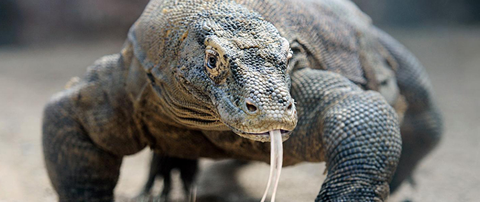 Indon sie op ration dragon de komodo pour un journaliste for Salle de bain komodo
